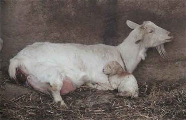 母羊配种注意事项