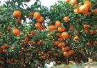 柑橘树修剪原因