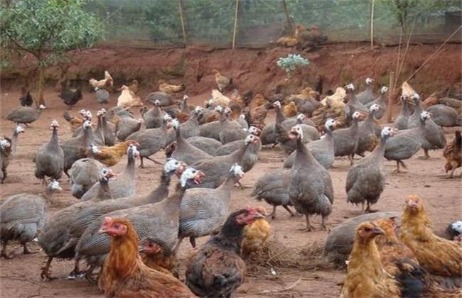 珍珠鸡 常见疾病 防治方法