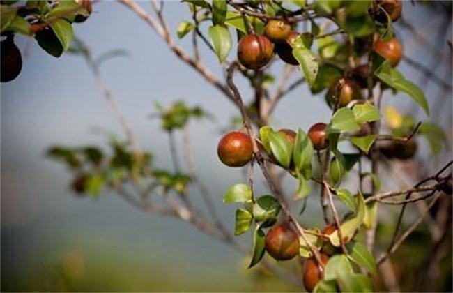 山茶花怎么繁殖