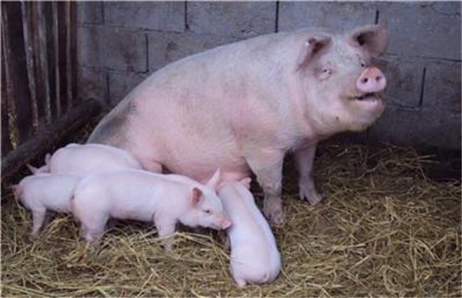 养殖幼猪前期注意事项