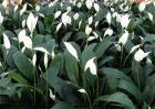适合花农种植的几种植物