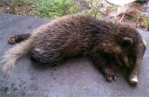 猪獾的饲养管理
