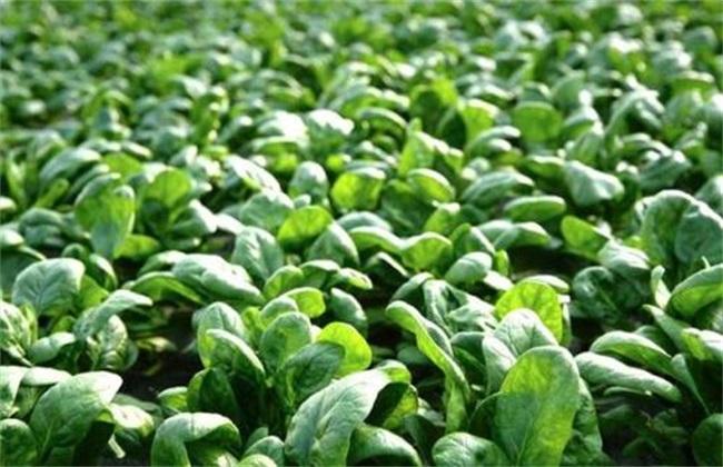 菠菜 生长环境 种植