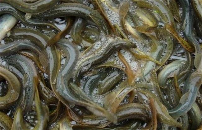 无土养殖泥鳅