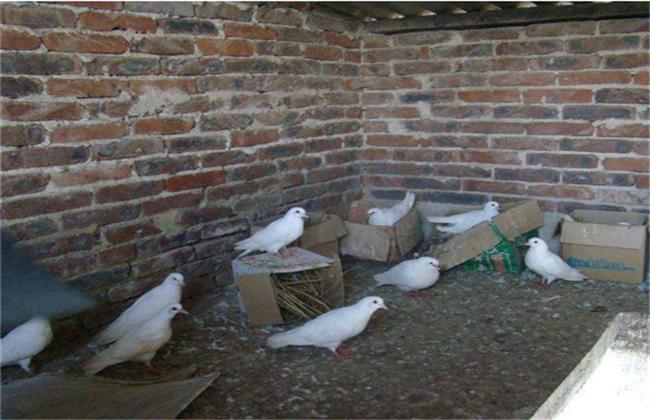 鸽子养殖技术