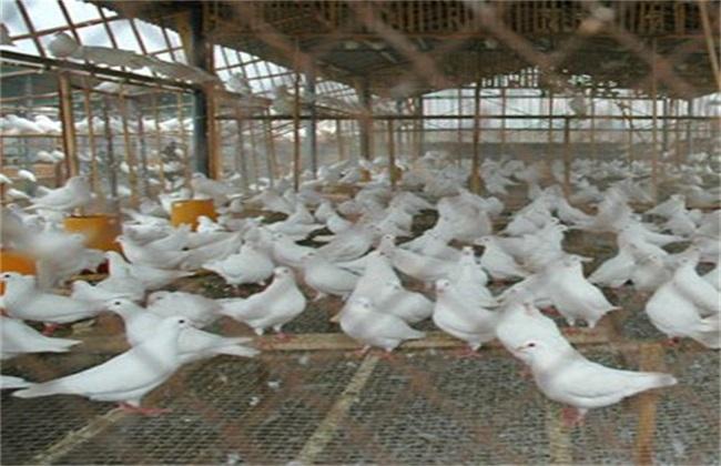 鸽子养殖技术_鸽子养殖技术