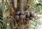 蛇皮果播种繁殖方法