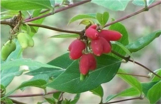 杈杷果怎么种植