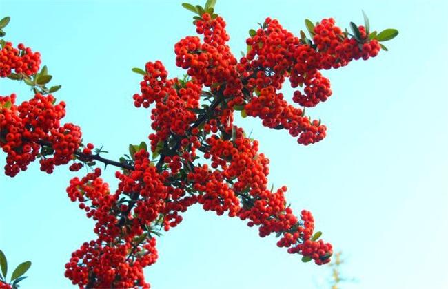 火棘果的种植方法
