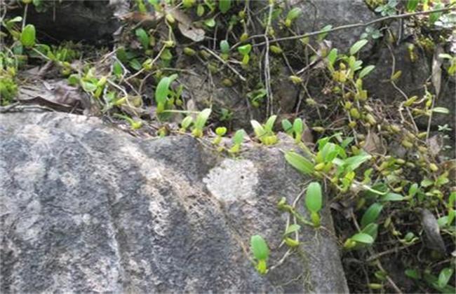 石橄榄怎么种植