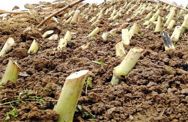 皇竹草的种植方法
