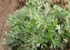 茵陈草的种植方法