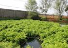 水芹的种植方法