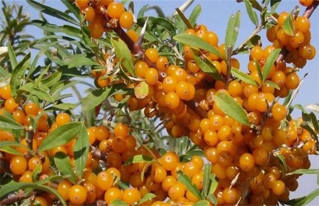 沙棘果 种植 怎么管理