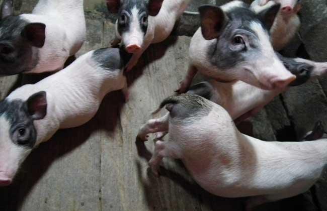香猪 养殖 方法