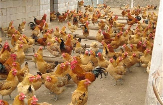 养鸡场如何防治禽流感