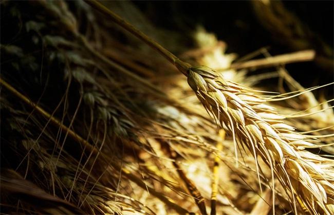 小麦价格多少钱一斤