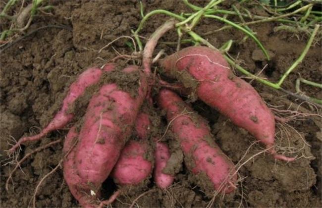红薯的种植技巧