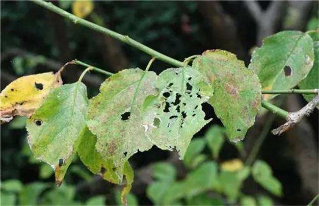 梅花常见病虫害图图片