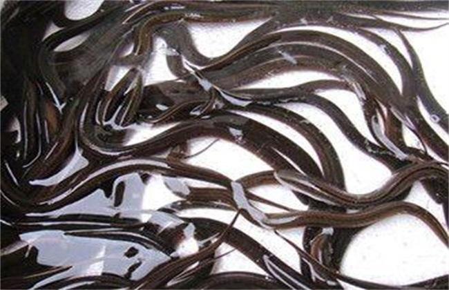 黄鳝 养殖 技术要点