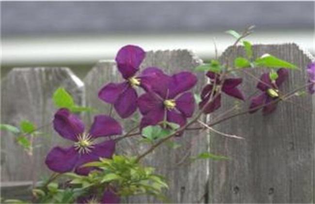 紫罗兰怎么修剪