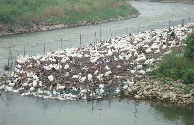 养殖蛋鸭和肉鸭哪个利润高更赚钱
