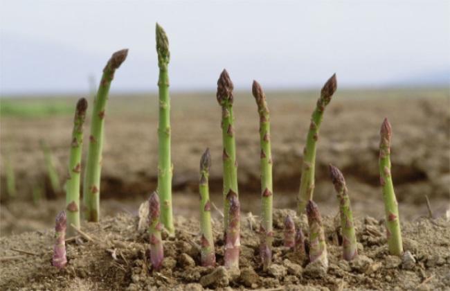 芦笋 环境 种植