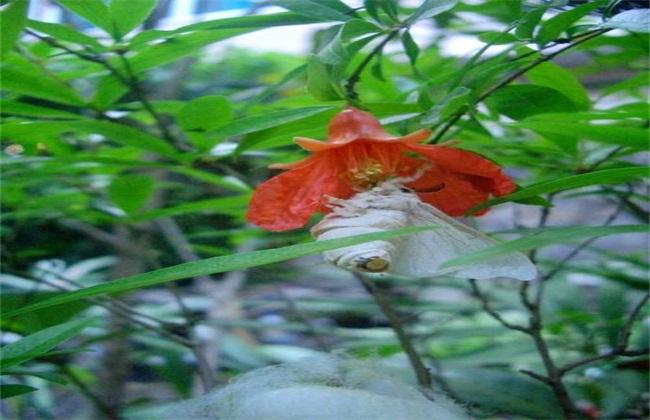 石榴树常见病虫害