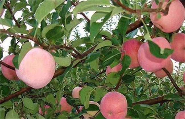 苹果 着色 促进