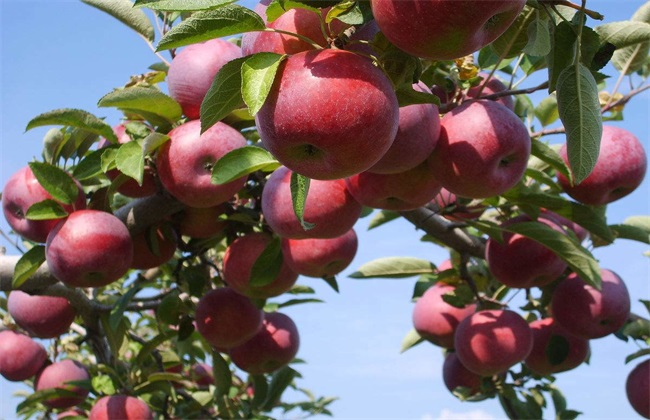 苹果冬季管理技术