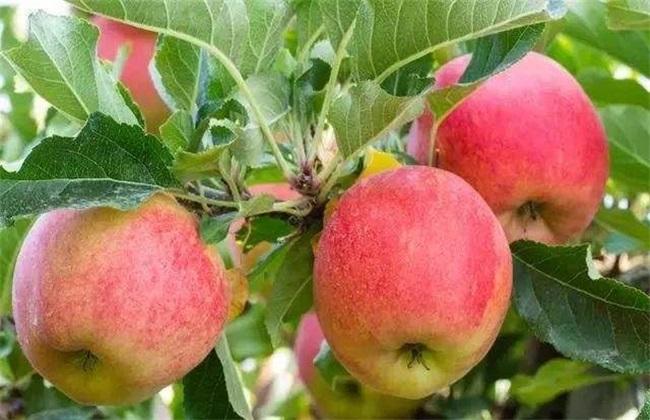 苹果 冬季 管理技术