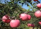 如何促进苹果果实着色