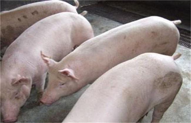 农村养猪的几大误区