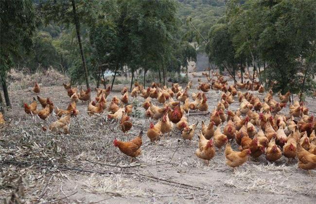 土鸡养殖的技术要点