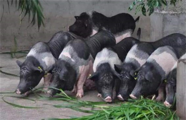 怎么养猪赚钱