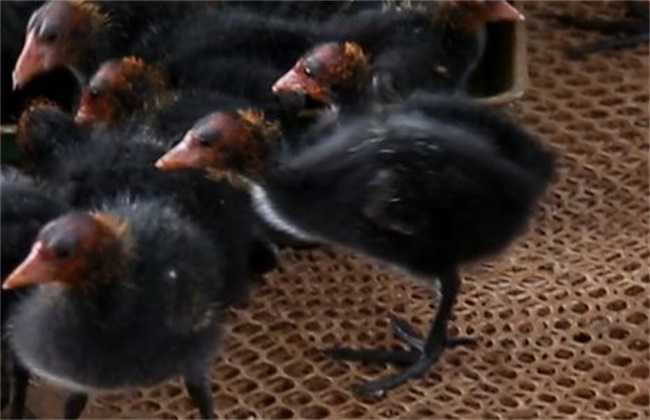黑水鸡苗多少钱一只