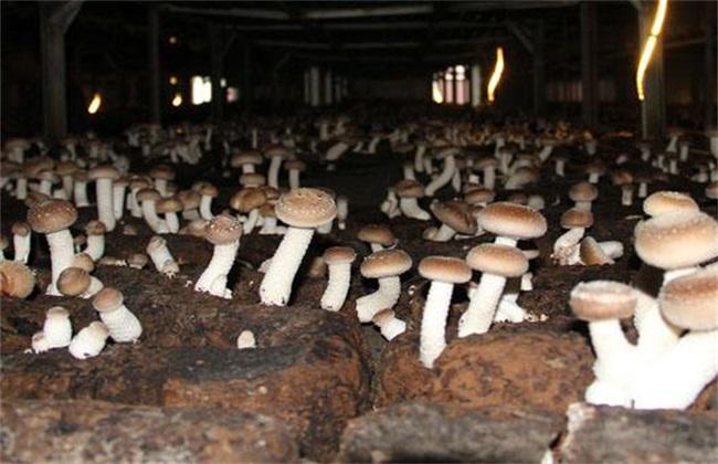 蘑菇 施肥 注意事项