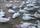 番鸭怎么养