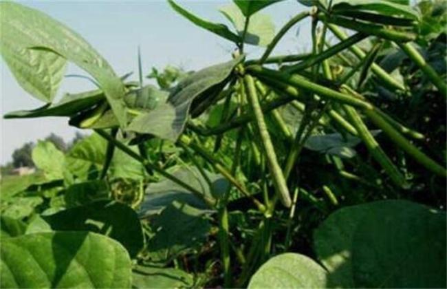 绿豆的施肥方法