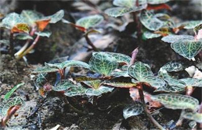 金线莲的种植方法