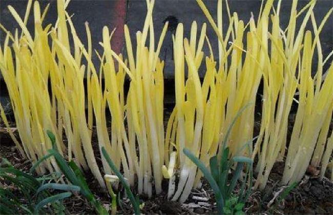 蒜黄和韭黄的区别