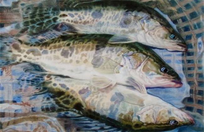 桂鱼多少钱一斤