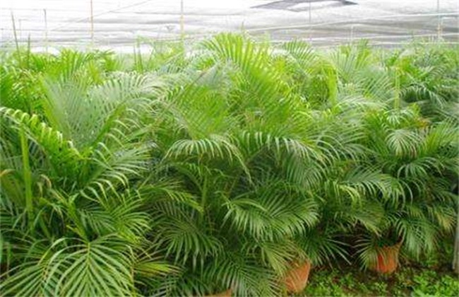 凤尾竹的养殖方法和注意事项