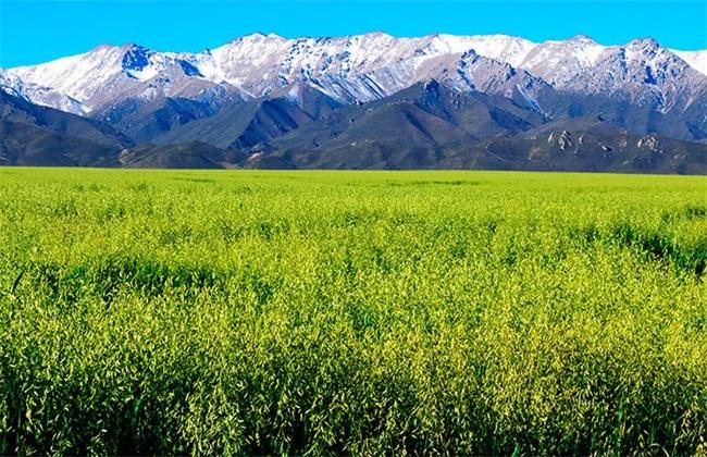 燕麦 种植 生长环境