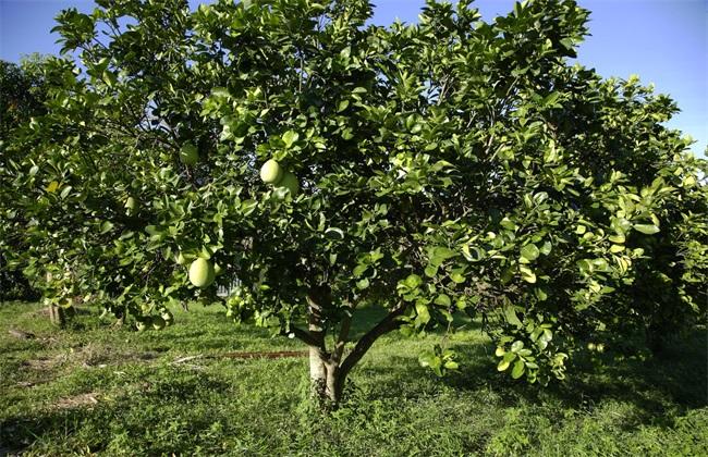 柚子树 管理 要点