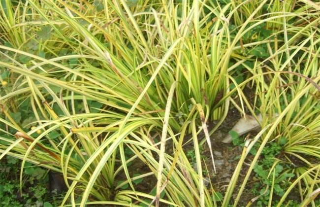 石菖蒲种植的注意事项