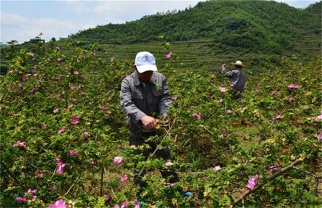 刺梨种植技术