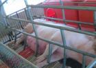 如何判断母猪是否产完