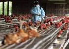 鸡舍常用消毒方法